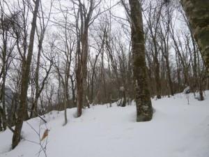 ブナの巨木がはえる斜面を猛ラッセルで行く
