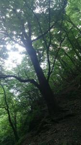 赤嵓滝谷の手前にあった巨木