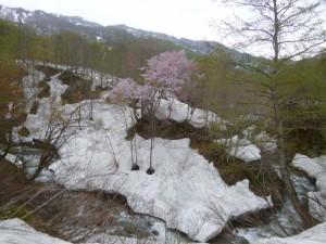 大海川が蛇行した所で山桜が満開となっていた
