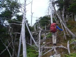 立ち枯れた森を進む。稜線はもうすぐ