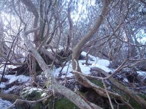シャクナゲの森。手か足か体か頭かザックか、必ずどこかが引っかかり、進むのに異常な時間がかかる